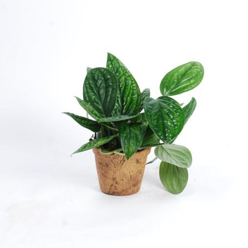 Epipremnum pinnatum MARBLE PLANET (Van der Arend Tropical Plantcenter)
