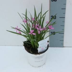 Rhodohypoxis baurii MIX (Experts in Green)