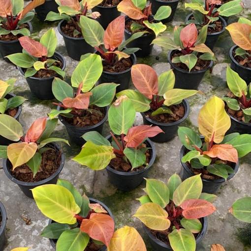 Philodendron 'Prince of Orange' (Van der Arend Tropical Plantcenter)