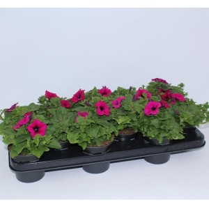 Petunia SURFINIA PURPLE