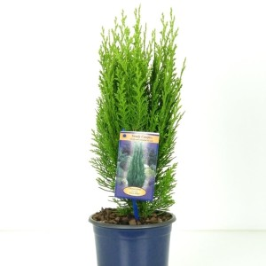 Chamaecyparis lawsoniana 'Green Pillar'