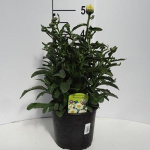 Leucanthemum BROADWAY LIGHTS (Experts in Green)