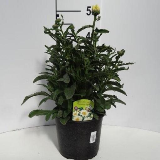 Leucanthemum BROADWAY LIGHTS (Experts in Green)