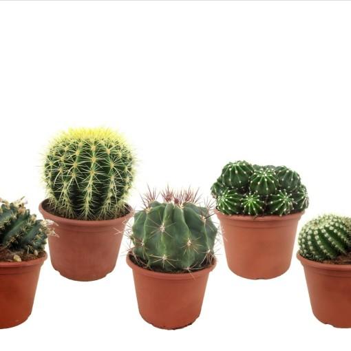 Cacti MIX (Luiten kwekerij)