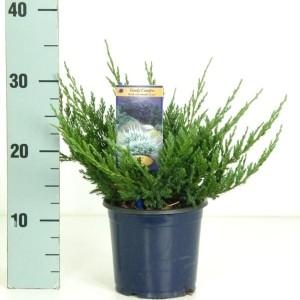 Juniperus horizontalis 'Blue Chip' (Vredebest, Kwekerij )