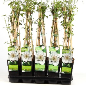Clematis 'Destiny' (Hoogeveen Plants)