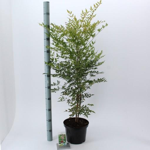 Nandina domestica (About Plants Zundert BV)