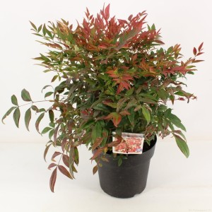 Nandina domestica OBSESSED / OBSESSION