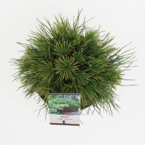 Pinus mugo 'Varella' (Bremmer Boomkwekerijen)
