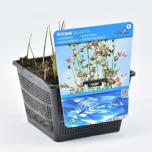 Scirpus lacustris (Moerings Waterplanten)