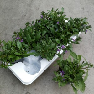 Scaevola aemula (Experts in Green)