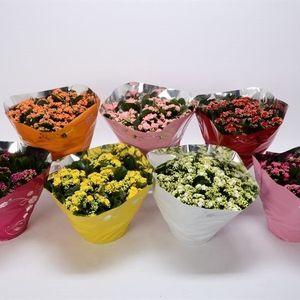 Kalanchoe blossfeldiana PERFECTA MIX