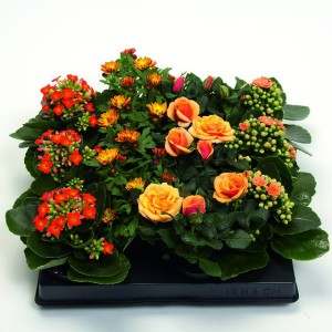 Houseplants MIX ORANGE