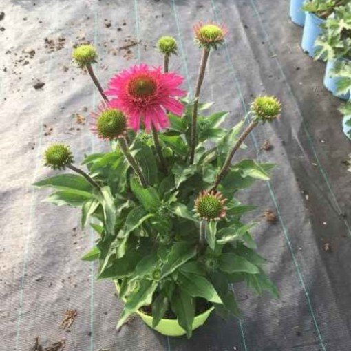 Echinacea DELICIOUS CANDY (Experts in Green)