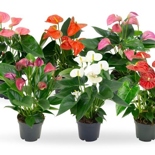 Anthurium MIX (Karma Plants)