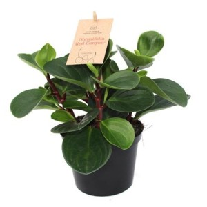 Peperomia obtusifolia 'Red Canyon'