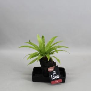 Asplenium nidus (Kwekerij Zeurniet)