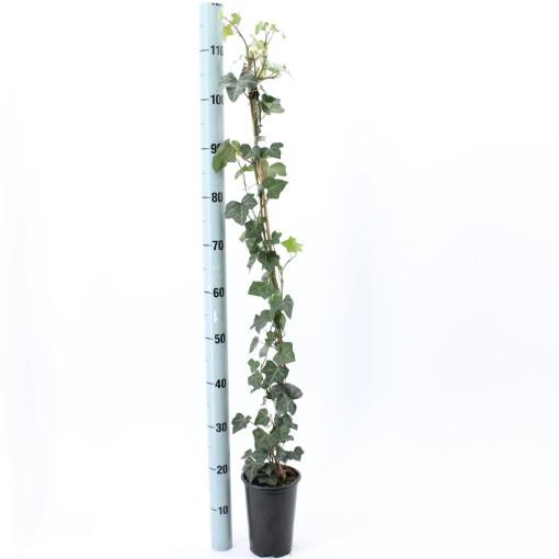 Hedera iberica (About Plants Zundert BV)