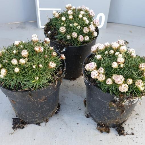 Armeria juniperifolia 'Babi Lom' (Leeuw-den Engelsen)