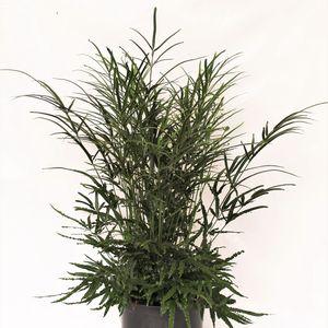 Pteris ensiformis 'Evergreen' (Ruhé Varens B.V.)