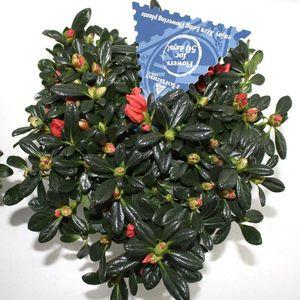 Rhododendron HORTINNO CHRISTINE SIENA