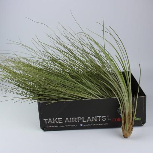 Tillandsia juncea (Corsa plant)