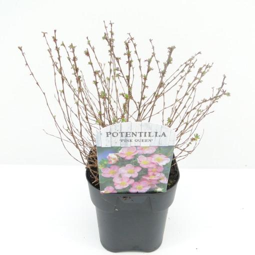Potentilla fruticosa 'Pink Queen' (Hooftman boomkwekerij)
