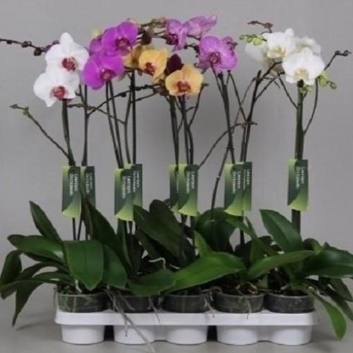 Phalaenopsis MIX (Leerdam Orchideeën)