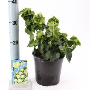Hedera hibernica 'Arbori Compact' (About Plants Zundert BV)