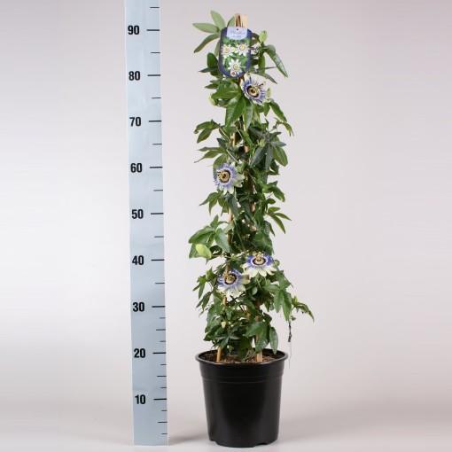 Passiflora caerulea (Gebr. Seuren Rozenkwekerijen BV)