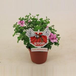 Pelargonium crispum 'Lemona' (Van der Valk bv)