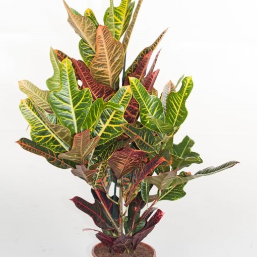 Codiaeum variegatum 'Excellent' (Ammerlaan, The Green Innovater)