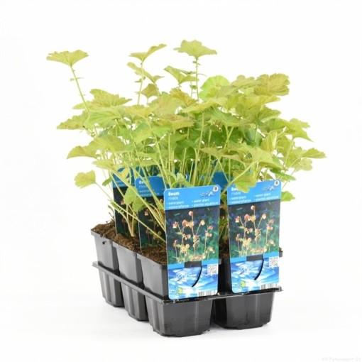 Geum rivale (Moerings Waterplanten)