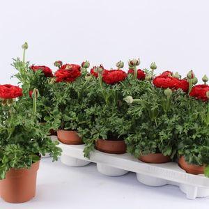 Ranunculus asiaticus 'Sprinkles Red'