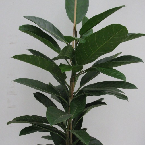 Ficus benghalensis 'Roy' (Snoeker)