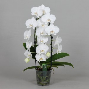 Phalaenopsis PURE SILK