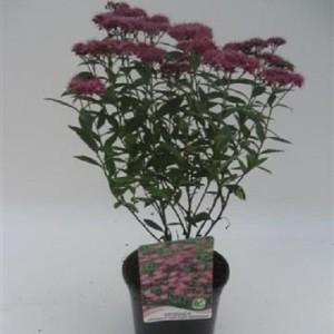 Spiraea japonica 'Anthony Waterer' (WTM de Boer)