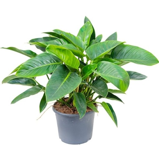 Philodendron 'Green Congo' (Nieuwkoop Europe B.V.)