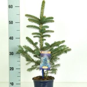 Picea pungens 'Glauca' (Vredebest, Kwekerij)