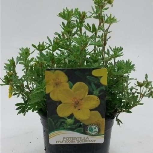 Potentilla fruticosa 'Goldstar' (WTM de Boer)