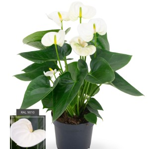 Anthurium SIERRA WHITE