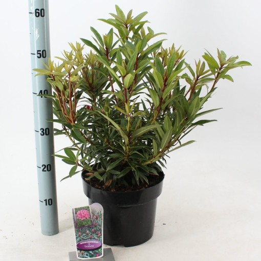 Rhododendron 'Graziella' (About Plants Zundert BV)