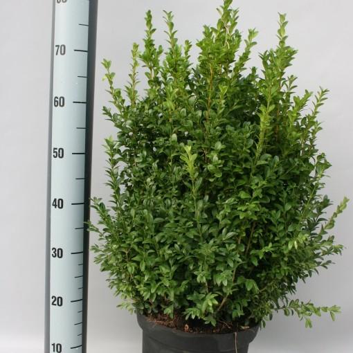 Buxus sempervirens (Griffioen, Gebr.)