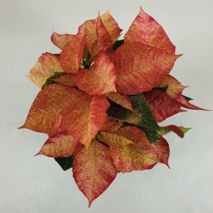 Euphorbia pulcherrima PREMIUM PICASSO (Bas van der Wilt)