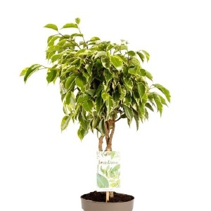 Ficus benjamina BUSHY KING