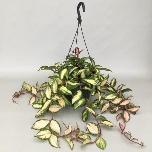 Hoya carnosa 'Tricolor' (Hkw. van der Velden)
