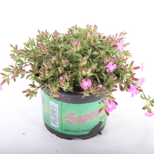 Saponaria 'Bressingham' (Experts in Green)