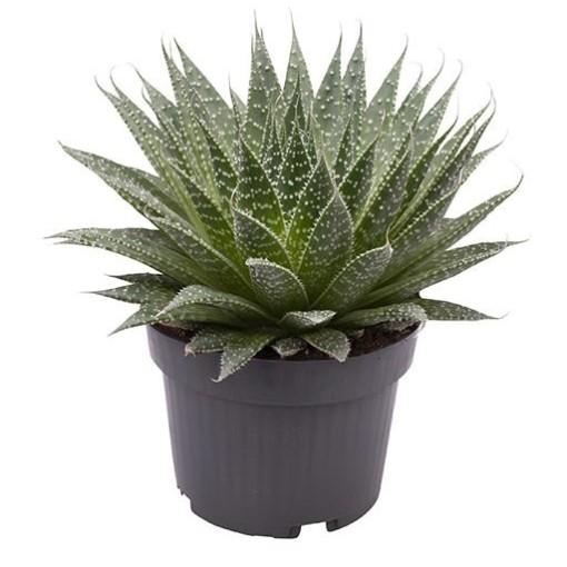 Aloe aristata (Gasa DK)