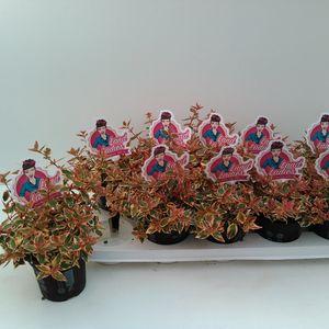Abelia x grandiflora 'Lady Peach'