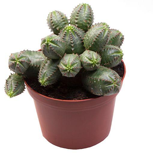 Euphorbia pseudoglobosa (Gasa DK)